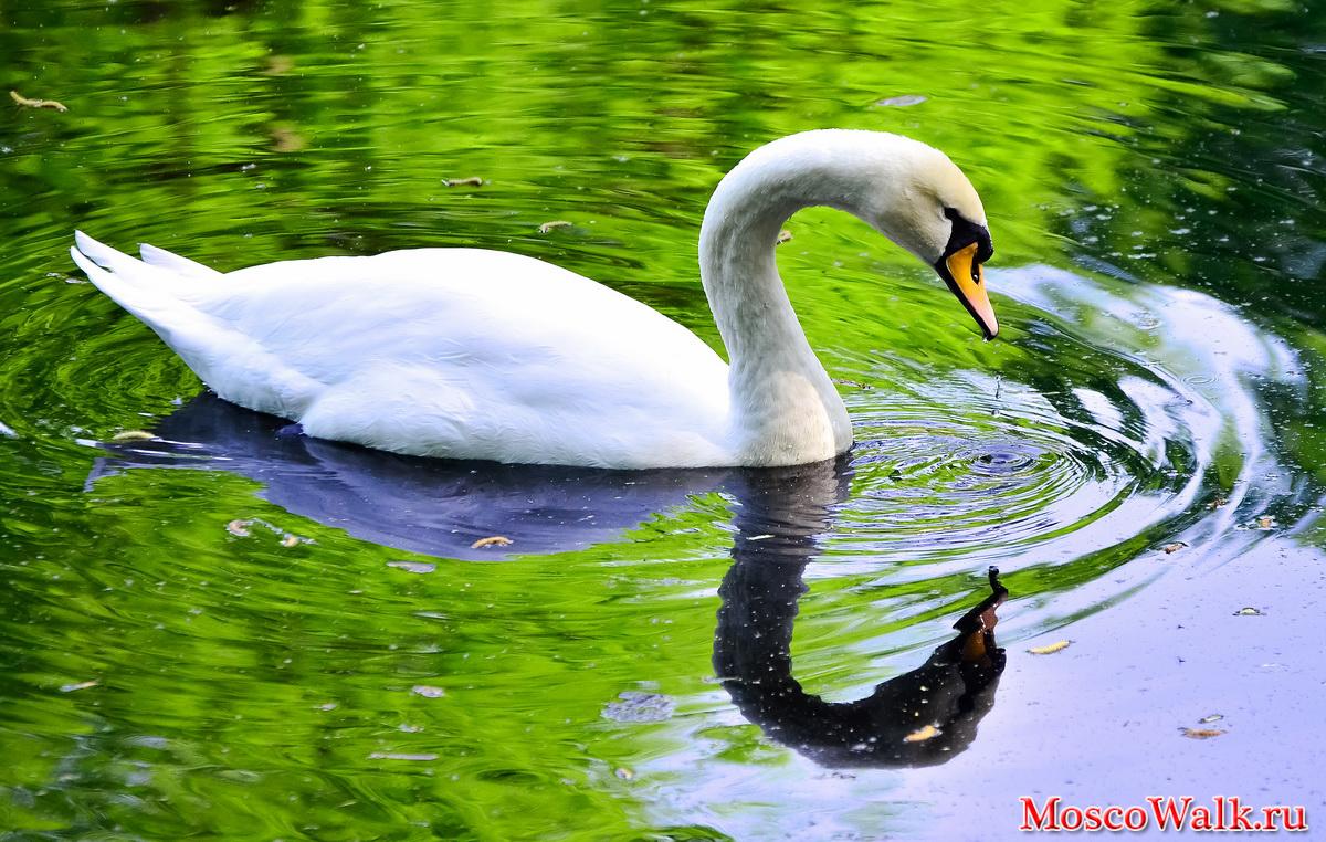 В нижнем майском пруду белые лебеди
